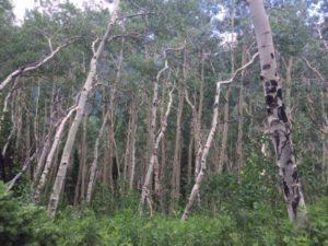 Williams Lake - Spruce Trees