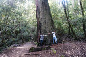 Redwood 3